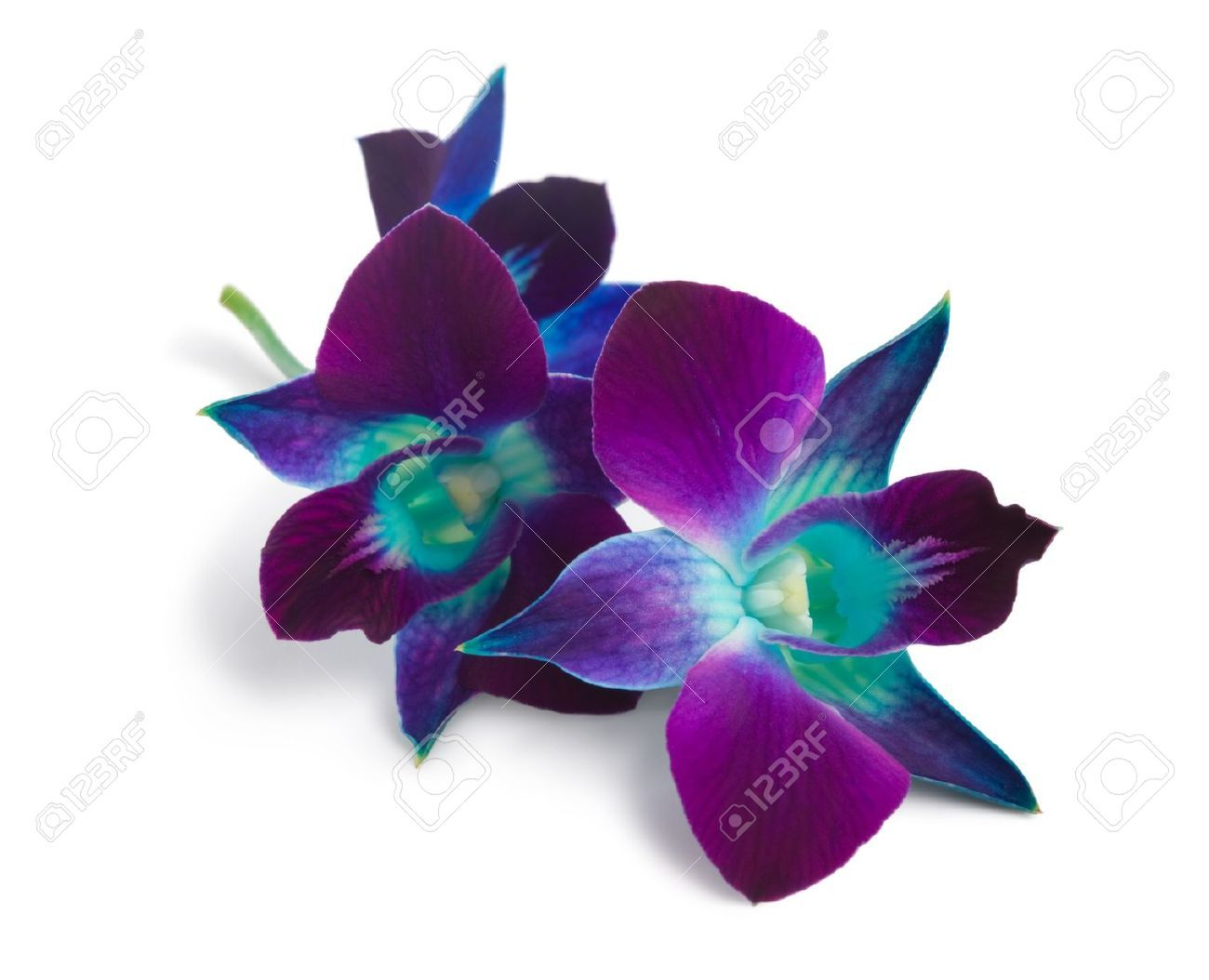 blue and purple orchid - Google Search | Experiment in ...