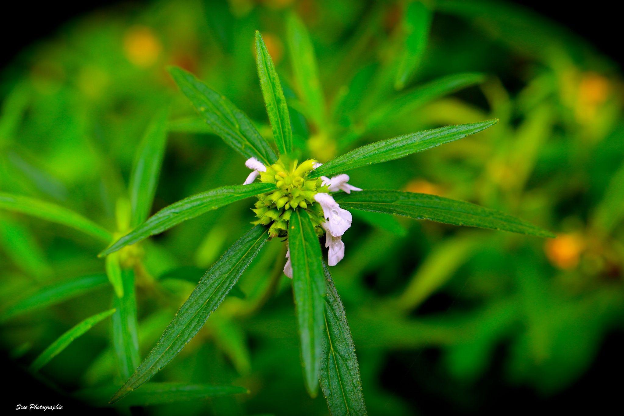 തുമ്പപ്പൂ ( Thumbappoo ) by SREEKUMAR / 500px Plants