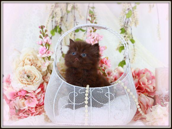 Pure Chocolate Toy Persian Kitten Persian Kittens Persian