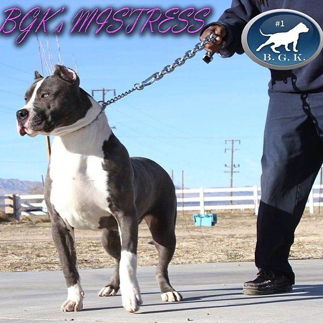 Bgk Pitbulls Pitbulls Blue Pitbull Pitbull Breeders