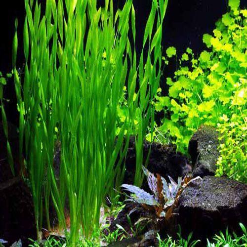 1000 Images About Aquariums Plants On Pinterest Aquarium Planted Aquarium Aquatic Garden Freshwater Aquarium Plants