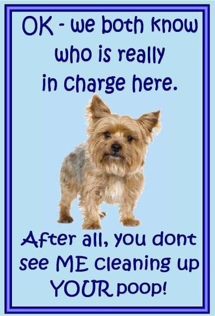 Yorkshire Terrier in Charge