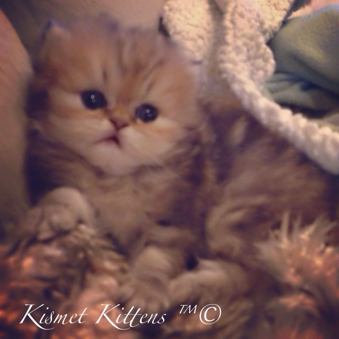 New Litter Teacup Golden Shaded Doll Face Kittens 3 Avail Reserve Www Kismetkittens Com Text 813 409 8418 Teacupkittens Pers Baby Cats Persian Cat Cats