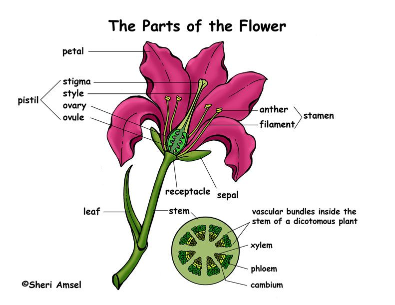Flowering Plants Lesson Plan Parts Of A Flower Plants Lesson Plans Plant Lessons