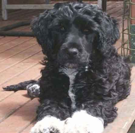Portuguese Water Dog Poodle Mix Portuguesewater Dog Puppies For