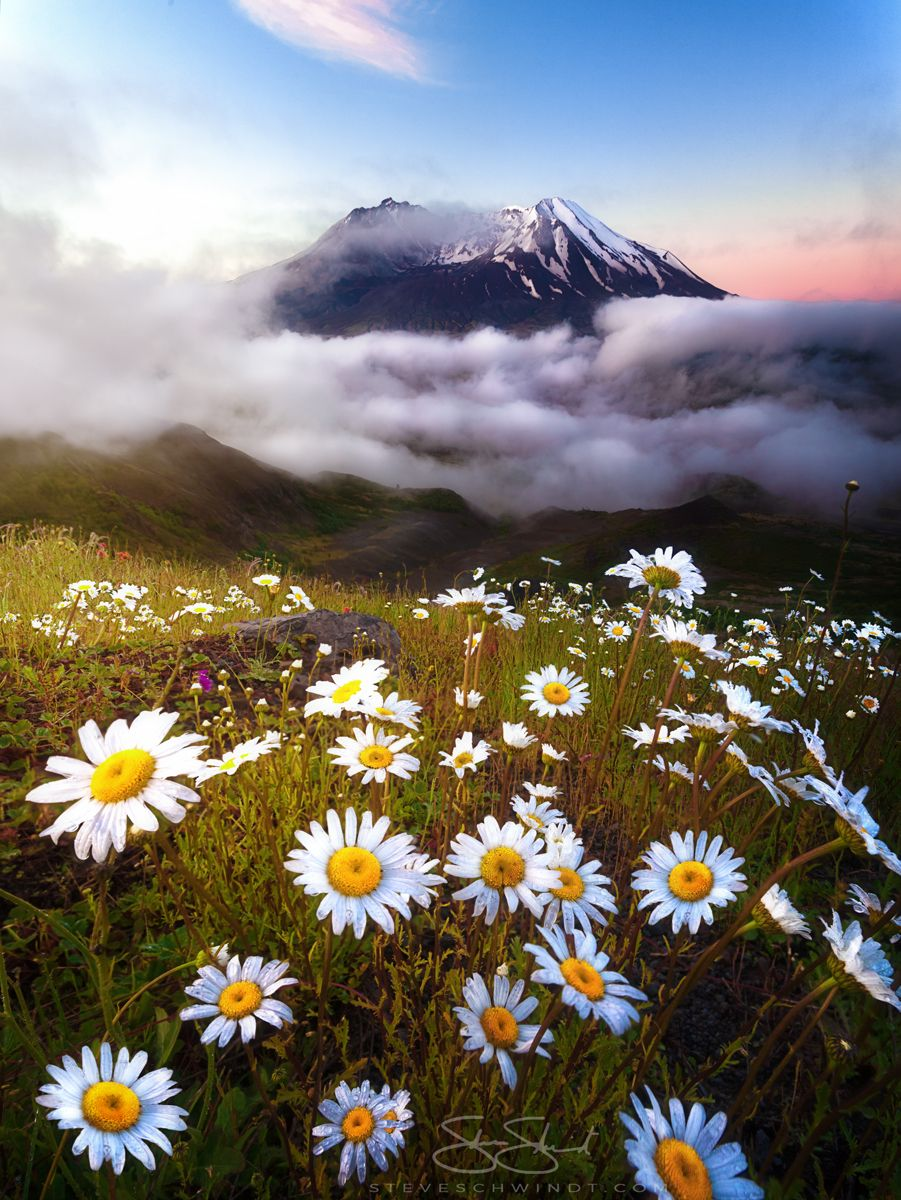 After sleeping in my car for the night the clouds parted right before sunrise allowing me to capture these beautiful daisies at Mount St. Helens WA - full story in comments [OC] [901x1200]