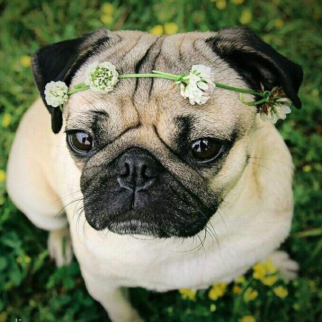 Mops Mit Blumenkrone C Smilingpugs Instagram Com Mops Pug Mops Haustiere Hunde