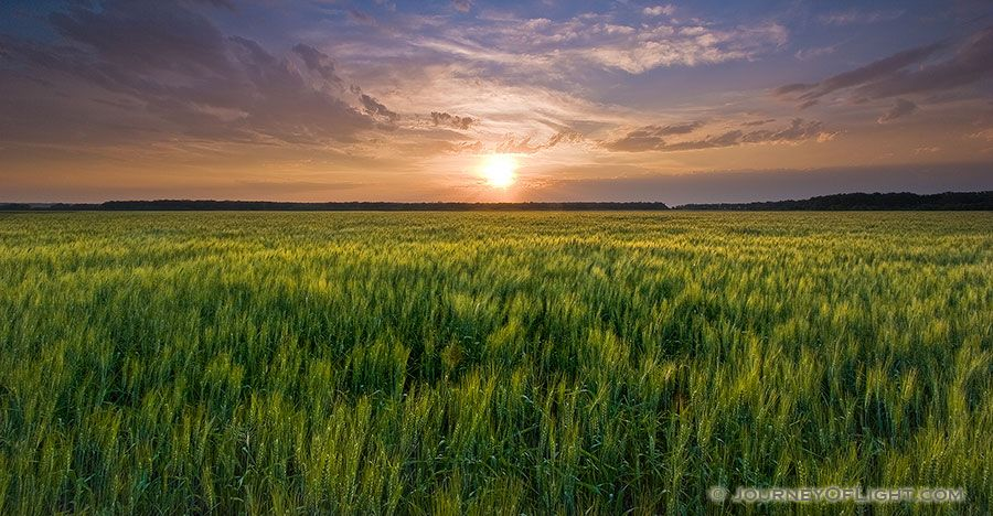 The Natural Beauty Of An Endless Field Of Wheat Glowing With A