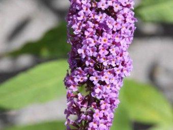 Buddleja davidii nanhoensis (Vlinderstruik), Buddleja davidii nanhoensis is een vrij laag blijvende vlinderstruik. Buddleja davidii nanhoensis bloeit lila en wordt ongeveer 150 cm hoog. De bloeiperiode van de Buddleja davidii nanhoensis is juni - augustus.