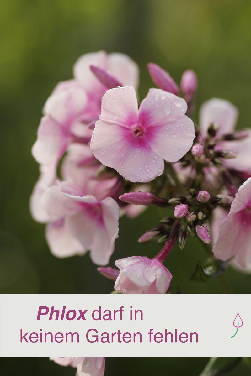 Phlox Bluten Und Farben In Hulle Und Fulle Beets