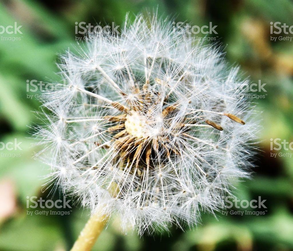 Dandelion Royalty Free Stock Photo Stock Images Free Photo Dandelion Flower