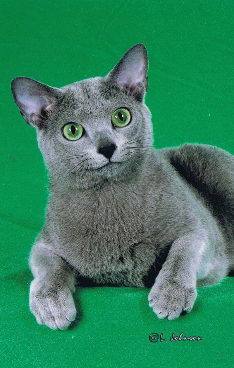 Blue Russian Burmese Cat Breeder Owner Don Pretty Cats
