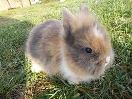 bildergebnis f r zwergkaninchen l wenkopf kaninchen pinterest l wenkopf kaninchen. Black Bedroom Furniture Sets. Home Design Ideas