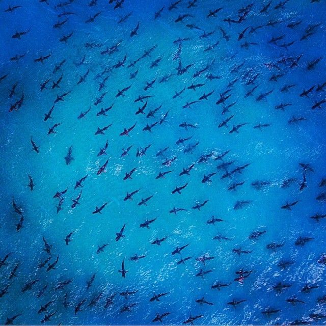Aerial shot of Spinner Sharks migrating - 87.4KB