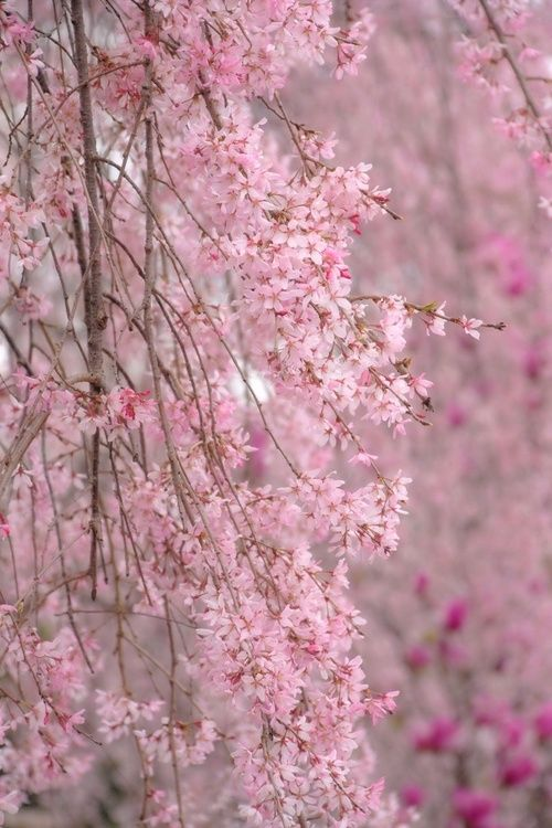 Pin By Beautiful Ambience On S P R I N G S O N G Weeping Cherry Tree Pink Blossom Flowering Trees
