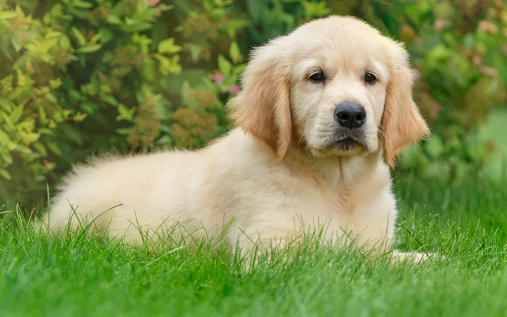 Download Wallpapers Golden Retriever Puppy Lawn Pets Cute
