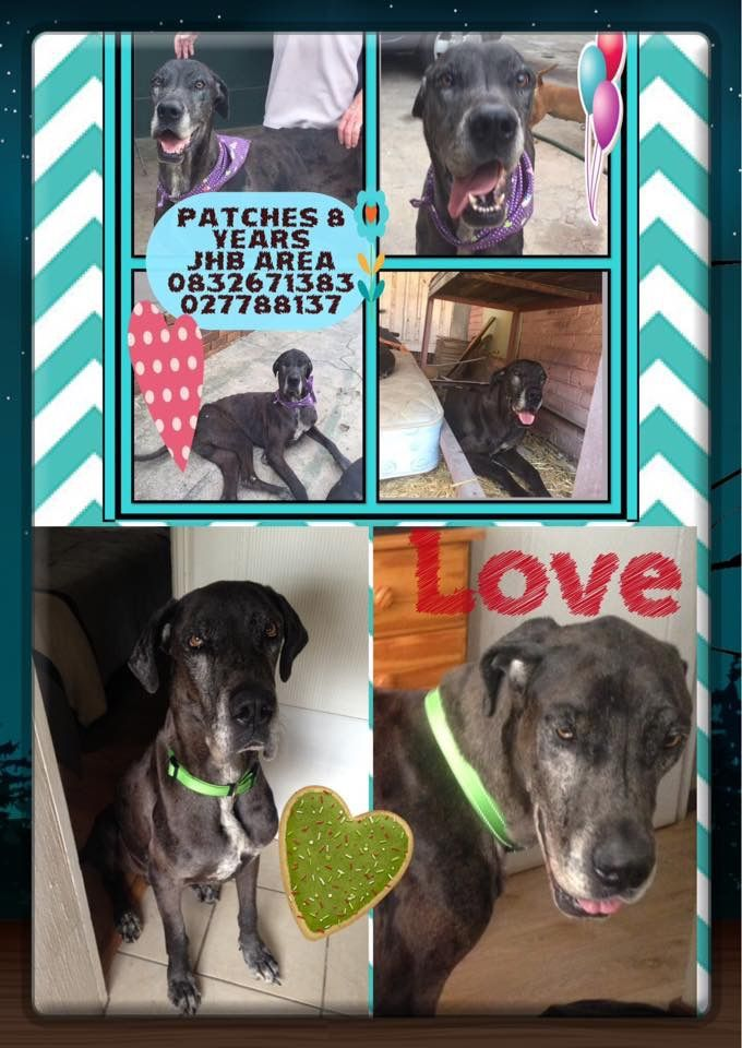 Pin By Louisa Oosthuizen On Great Dane Rescue South Africa Great
