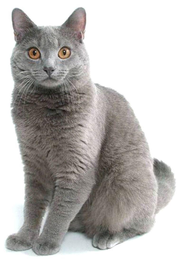 Chartreux photo by Helmi Chartreux Cat Pinterest