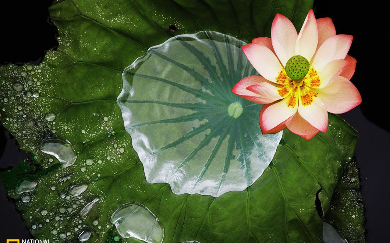 Photography overflow lotus flower wallpapers free download photography overflow lotus flower wallpapers free download wallpaperswindows xp mightylinksfo Choice Image