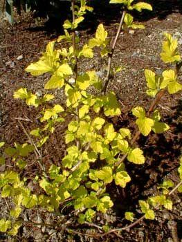 pruning dart's gold ninebark