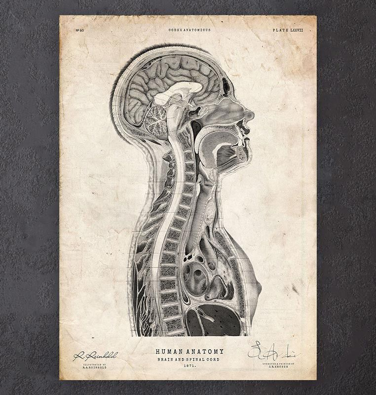 Brain and spinal cord anatomy print | Brain | Pinterest | Brain ...