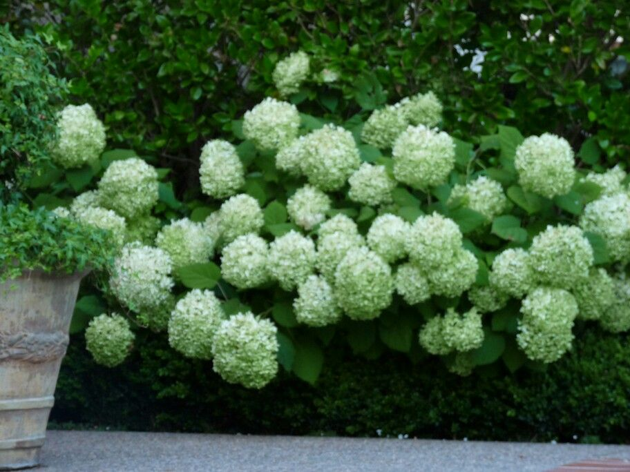 Annabelle hydrangeas gardening ideas pinterest for Annabelle hydrangea