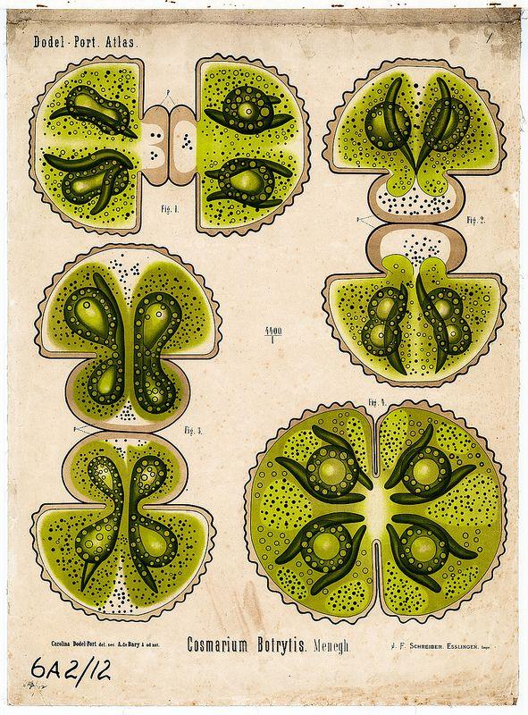 Cosmarium Botrytis Menegh Diagrams Pinterest Anatomy And Botany