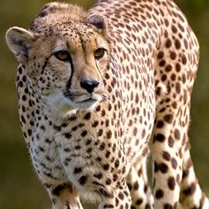 Cheetah | San Diego Zoo Animals: Facts about Animals | Zoo ...