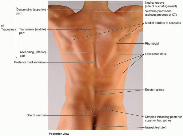 Surface buttock anatomy proportions - Google Search by Dr T Wright ...