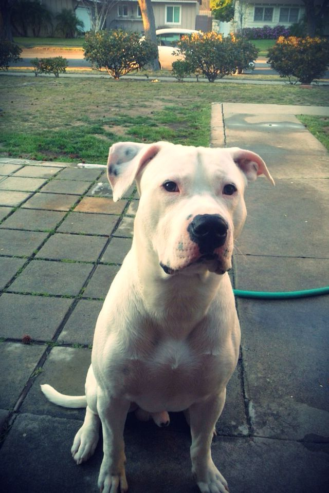 American Bulldog 3 With Images Pitbull Terrier Labrador Puppy Training Bull Terrier Dog