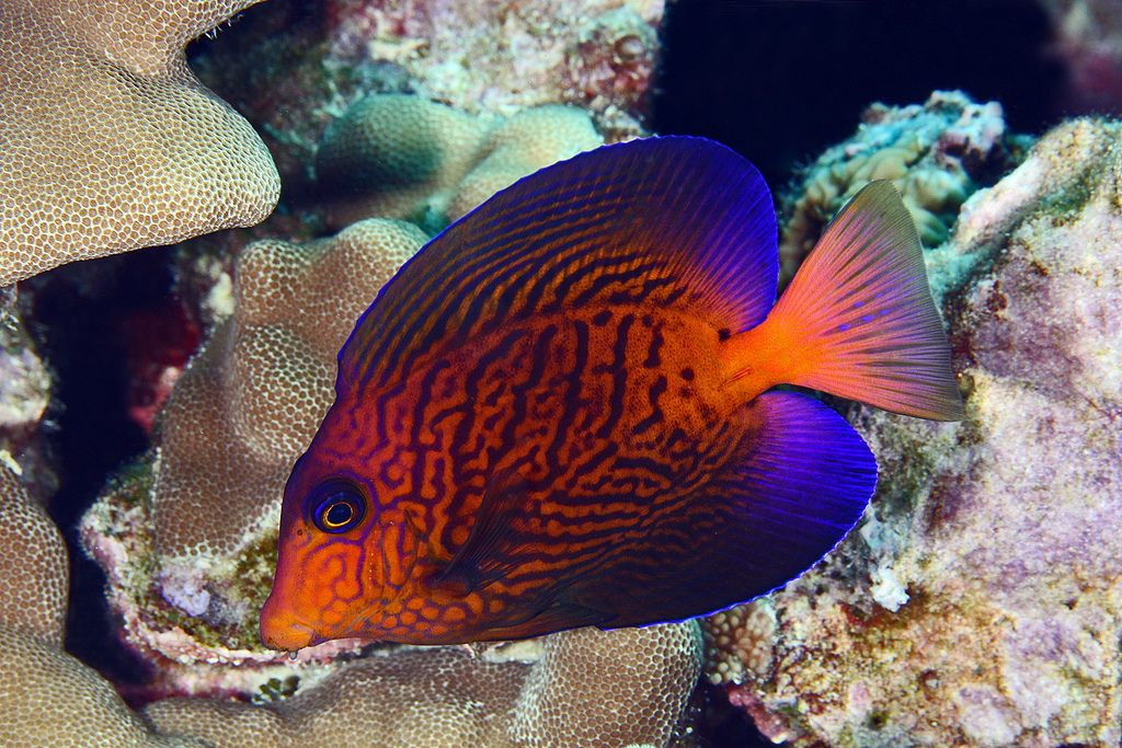 Chevron Tang With Images Saltwater Fish Tanks Saltwater