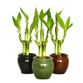 How To Care Lucky Bamboo Plant For Good Growing With Images