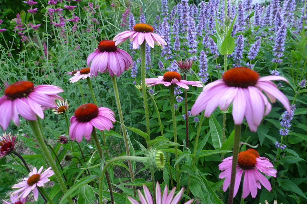 echinacea purpurea magnus en agastache 39 blue fortune 39 en. Black Bedroom Furniture Sets. Home Design Ideas