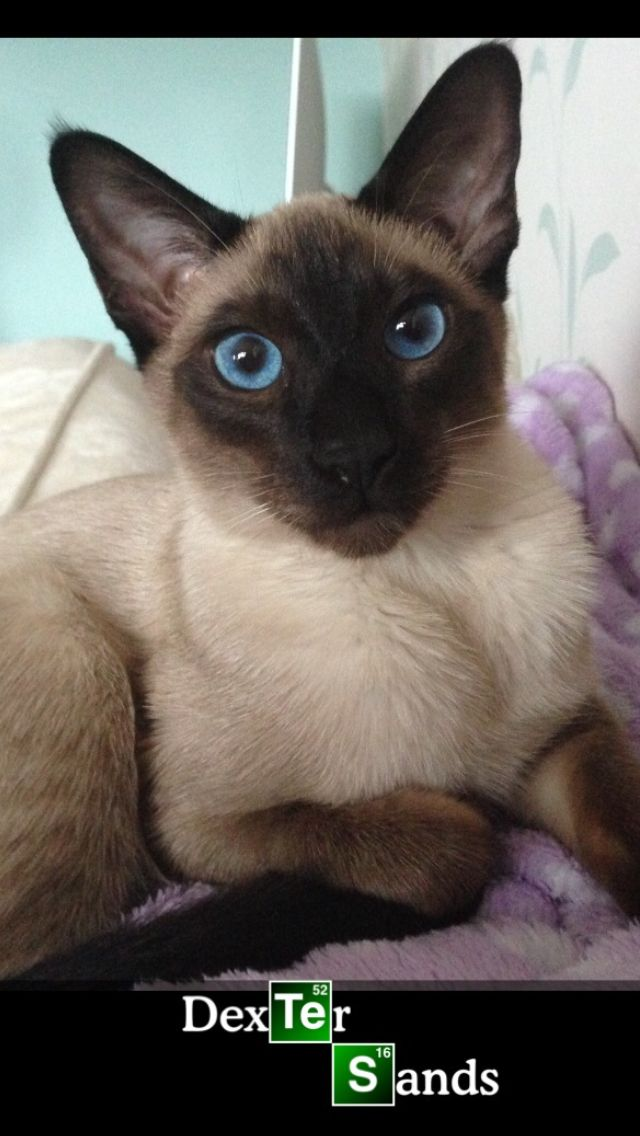 Dexter My Siamese Seal Point Kitten Schattigste Dieren Dieren
