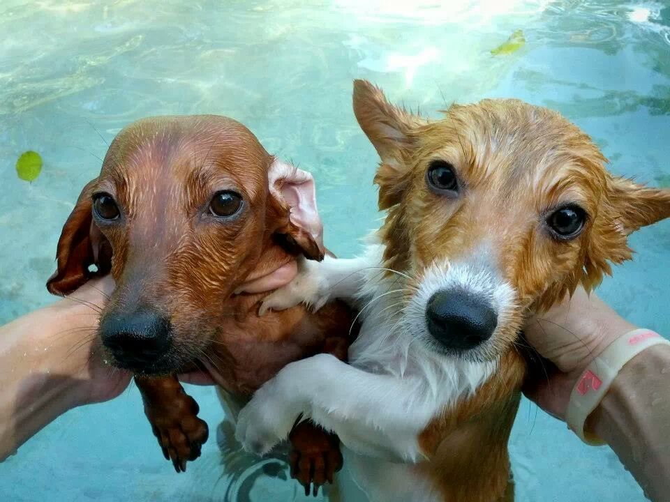Two soaked dogs, corgi & dachshund