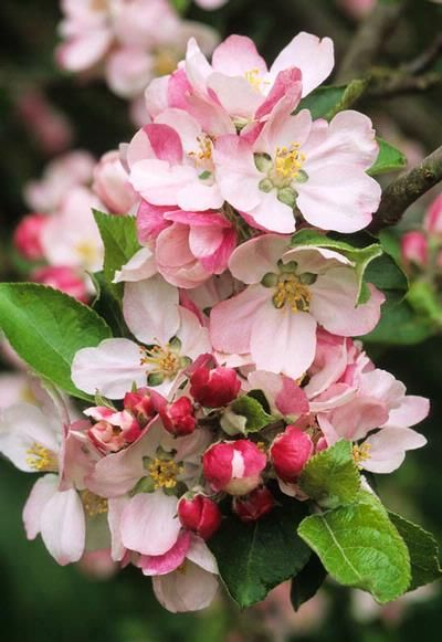 Apple Blossom Spring Flower Fruit Tree For May