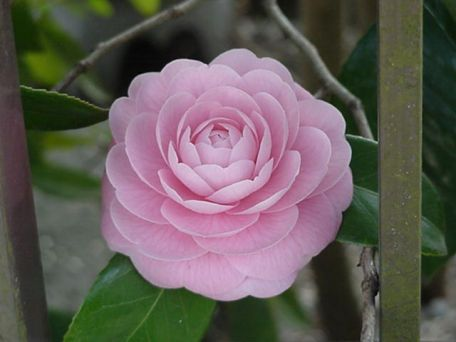 Tsubaki Camelia March Japan Flowers Camellia Flower Japanese Flowers