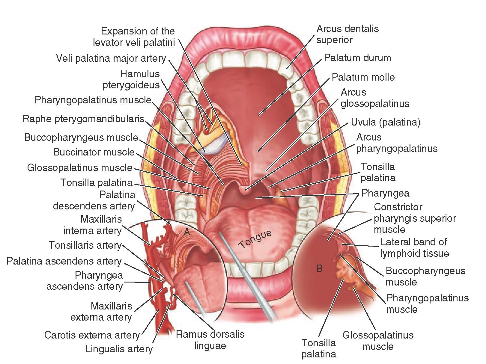 Detailed Mouth Anatomy Dentalcapecod Facebookdaocc