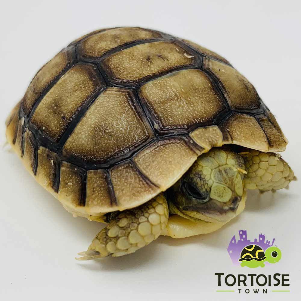 Greek Tortoise For Sale Baby Golden Greek Tortoise For Sale Greek Turtles In 2020 Tortoise Small Tortoise Baby Tortoise
