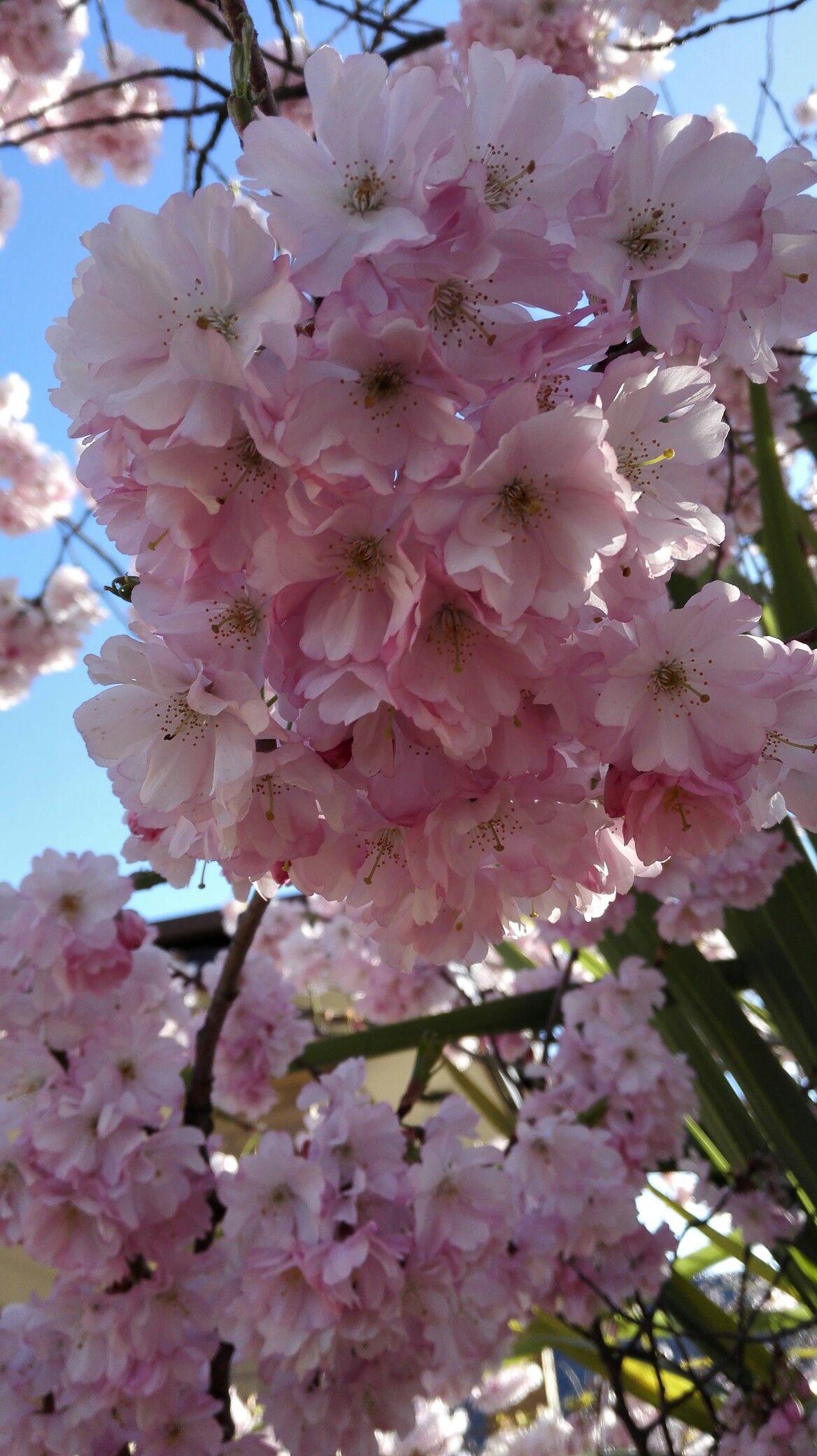 Cherry Blossom Bristol Uk Blossom Garden Beautiful Flowers Rock Garden Plants