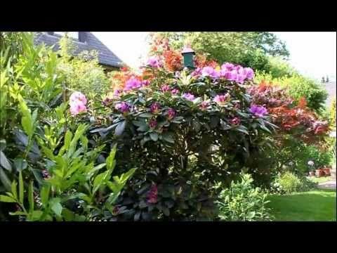 Rhododendron radikal runter schneiden - NewWonder555 - YouTube - gartenpflanzen winterhart immergrun