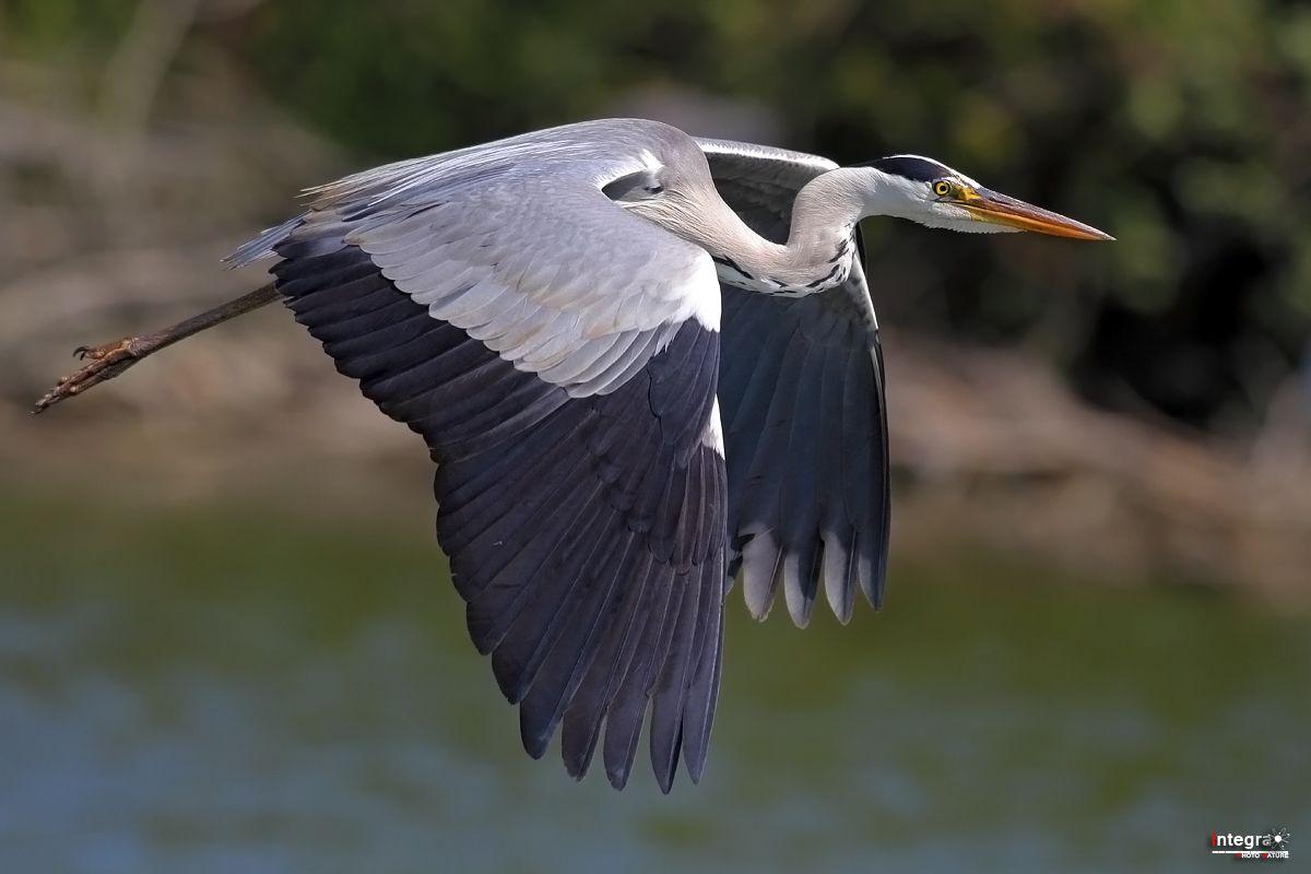 Grey Heron (flying)...
