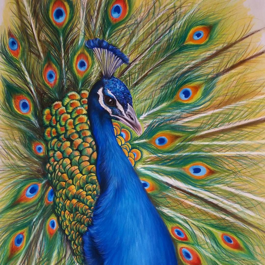 Peacock (Drawing by Majla_Art @Instagram) | Peacock ...