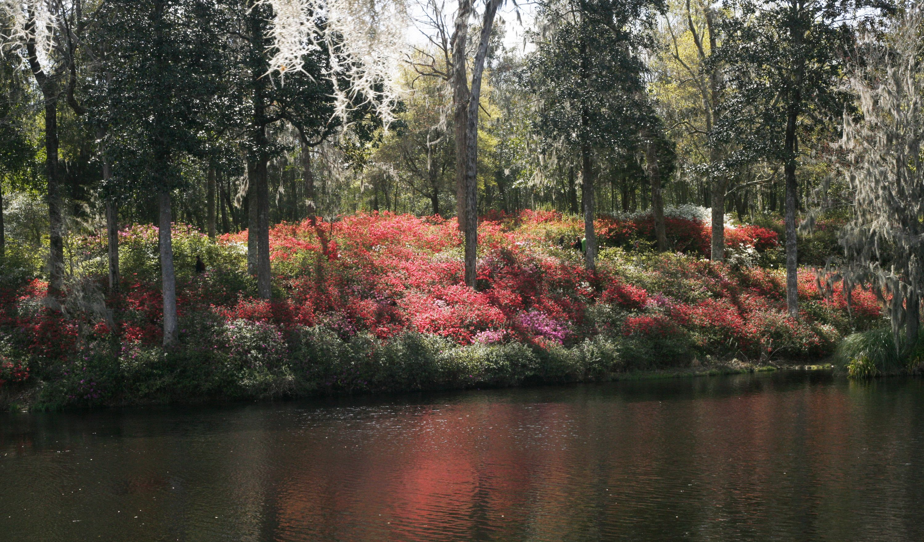 Azaleas in bloom on the Ashley River at Historic Middleton