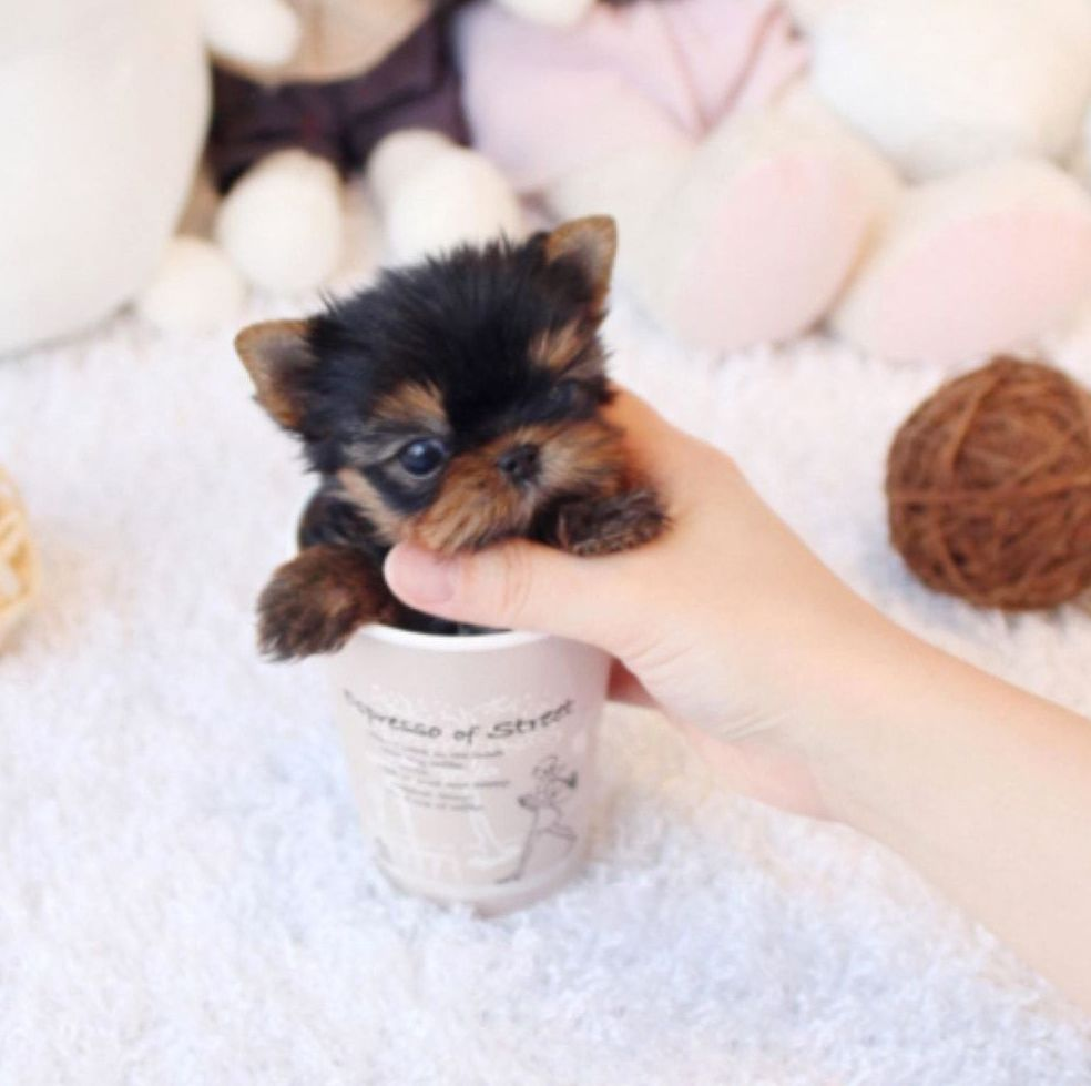 Maltese Puppies For Sale Precious Micro Tiny Teacup Maltese Extreme Babydoll Face Teacup Puppies Maltese Maltese Puppy Teacup Maltese