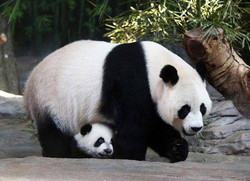panda-cub.jpg