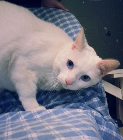 Frankie is a 2-year old, neutered and declawed male cat. Frankie has many wonderful qualities. You can see from his picture that he has striking blue eyes; he is a big, healthy boy weighing in at 13 lbs. Frankie gets along with dogs and other cats....
