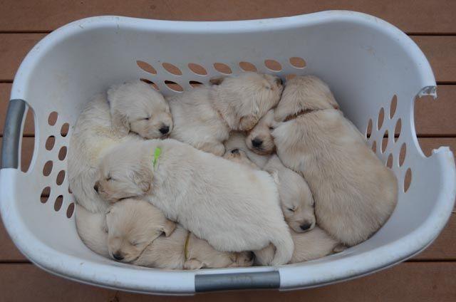 English Cream Golden Retriever Puppies Sacramento California Retriever Puppy