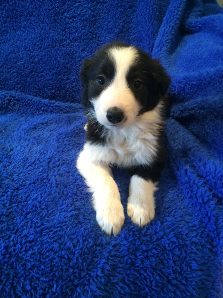 Border Collie Puppies For Sale Birmingham West Midlands
