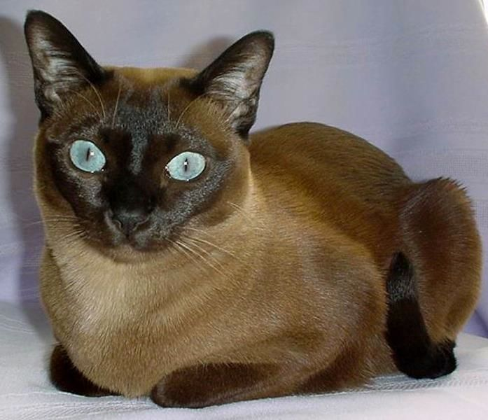 Pin On Cat S Especially The Tonkinese